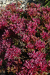 Dragon's Blood Stonecrop (Sedum spurium) at Snavely's Garden Corner