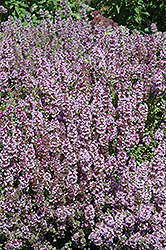 Mother-of-Thyme (Thymus praecox) at Snavely's Garden Corner