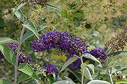 Adonis Blue™ Butterfly Bush (Buddleia davidii 'Adokeep') at Snavely's Garden Corner