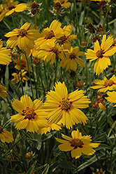 Tequila Sunrise Tickseed (Coreopsis 'Tequila Sunrise') at Snavely's Garden Corner