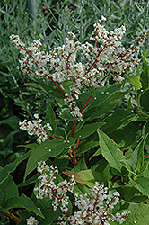 White Fleeceflower (Persicaria polymorpha) at Snavely's Garden Corner