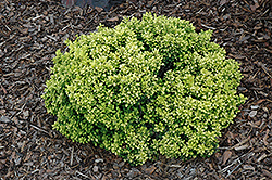 Golden Nugget Japanese Barberry (Berberis thunbergii 'Golden Nugget') at Snavely's Garden Corner