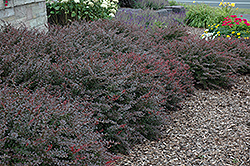 Crimson Pygmy Japanese Barberry (Berberis thunbergii 'Crimson Pygmy') at Snavely's Garden Corner