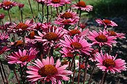 Fatal Attraction Coneflower (Echinacea purpurea 'Fatal Attraction') at Snavely's Garden Corner
