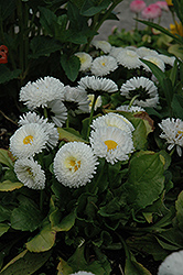 Bellisima White English Daisy (Bellis perennis 'Bellissima White') at Snavely's Garden Corner