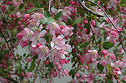 Louisa Flowering Crab (Malus 'Louisa') at Snavely's Garden Corner