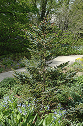 Howell's Dwarf Tigertail Spruce (Picea bicolor 'Howell's Dwarf Tigertail') at Snavely's Garden Corner
