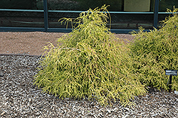 Sungold Falsecypress (Chamaecyparis pisifera 'Sungold') at Snavely's Garden Corner