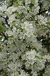 Donald Wyman Flowering Crab (Malus 'Donald Wyman') at Snavely's Garden Corner