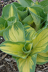 Great Expectations Hosta (Hosta 'Great Expectations') at Snavely's Garden Corner