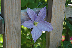 Blue Angel Clematis (Clematis 'Blue Angel') at Snavely's Garden Corner