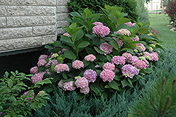 Endless Summer® Hydrangea (Hydrangea macrophylla 'Endless Summer') at Snavely's Garden Corner