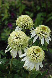 Coconut Lime Coneflower (Echinacea 'Coconut Lime') at Snavely's Garden Corner