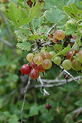 Pixwell Gooseberry (Ribes 'Pixwell') at Snavely's Garden Corner