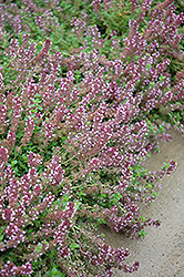 Gold Edge Lemon Thyme (Thymus x citriodorus 'Gold Edge') at Snavely's Garden Corner