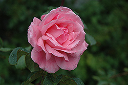 Queen Elizabeth Rose (Rosa 'Queen Elizabeth') at Snavely's Garden Corner