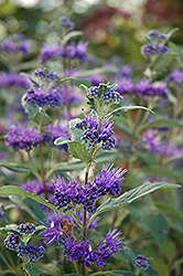 Dark Knight Caryopteris (Caryopteris x clandonensis 'Dark Knight') at Snavely's Garden Corner