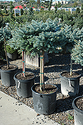 Globe Blue Spruce (tree form) (Picea pungens 'Globosa (tree form)') at Snavely's Garden Corner