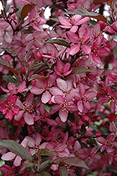Royal Raindrops Flowering Crab (Malus 'Royal Raindrops') at Snavely's Garden Corner