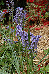 Spanish Bluebell (Hyacinthoides hispanica) at Snavely's Garden Corner