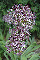 Star Of Persia Onion (Allium christophii) at Snavely's Garden Corner