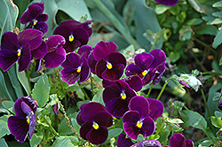 Matrix® Purple Pansy (Viola 'PAS770616') at Snavely's Garden Corner