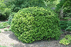 Japanese Boxwood (Buxus microphylla 'var. japonica') at Snavely's Garden Corner