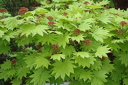 Golden Full Moon Maple (Acer shirasawanum 'Aureum') at Snavely's Garden Corner