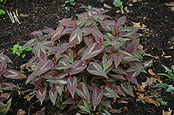 Red Dragon Fleeceflower (Persicaria microcephala 'Red Dragon') at Snavely's Garden Corner