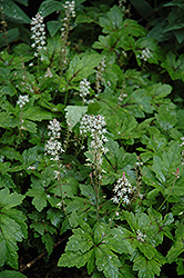 Crow Feather Foamflower (Tiarella 'Crow Feather') at Snavely's Garden Corner