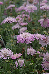 Pink Mist Pincushion Flower (Scabiosa 'Pink Mist') at Snavely's Garden Corner