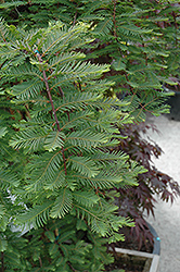 Miss Grace Dawn Redwood (Metasequoia glyptostroboides 'Miss Grace') at Snavely's Garden Corner