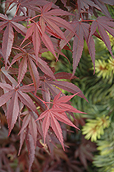 Skeeter's Broom Dwarf Japanese Maple (Acer palmatum 'Skeeter's Broom') at Snavely's Garden Corner