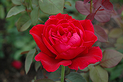 Mister Lincoln Rose (Rosa 'Mister Lincoln') at Snavely's Garden Corner