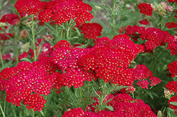 Pomegranate Yarrow (Achillea millefolium 'Pomegranate') at Snavely's Garden Corner