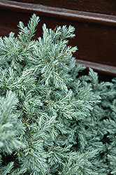 Baby Blue Moss Falsecypress (Chamaecyparis pisifera 'Baby Blue') at Snavely's Garden Corner