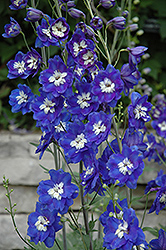 Blue Bird Larkspur (Delphinium 'Blue Bird') at Snavely's Garden Corner