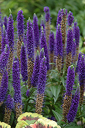 Royal Candles Speedwell (Veronica spicata 'Royal Candles') at Snavely's Garden Corner