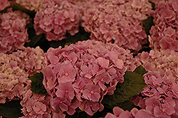 Early Sensation Hydrangea (Hydrangea macrophylla 'Early Sensation') at Snavely's Garden Corner