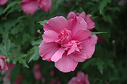 Lucy Rose Of Sharon (Hibiscus syriacus 'Lucy') at Snavely's Garden Corner