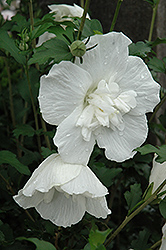 White Chiffon® Rose of Sharon (Hibiscus syriacus 'Notwoodtwo') at Snavely's Garden Corner