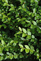 Amur Privet (Ligustrum amurense) at Snavely's Garden Corner