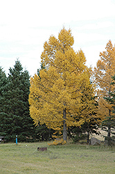European Larch (Larix decidua) at Snavely's Garden Corner