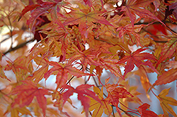 Butterfly Variegated Japanese Maple (Acer palmatum 'Butterfly') at Snavely's Garden Corner