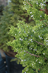Hollywood Juniper (Juniperus chinensis 'Torulosa') at Snavely's Garden Corner