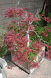 Ever Red Lace-Leaf Japanese Maple (Acer palmatum 'Ever Red') at Snavely's Garden Corner