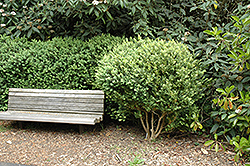 Common Boxwood (Buxus sempervirens) at Snavely's Garden Corner