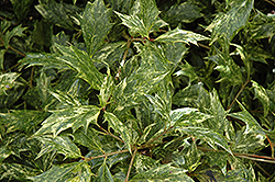 Variegated False Holly (Osmanthus heterophyllus 'Goshiki') at Snavely's Garden Corner