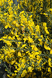 Scotch Broom (Cytisus scoparius) at Snavely's Garden Corner