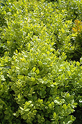 Dwarf English Boxwood (Buxus sempervirens 'Suffruticosa') at Snavely's Garden Corner
